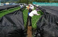 清水加奈『かぶせ茶農家のひとりごと』vol.9 『新茶無事終了』
