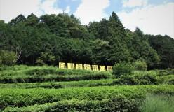 岐阜のお茶旅 vol.3_美濃白川茶発祥の地に残る いにしえのお茶