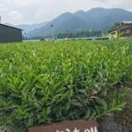 清水加奈『かぶせ茶農家のひとりごと』vol.12 『お茶の品種』