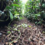 元祖国産燻製茶カネロク松本園3代目奮闘記 vol.24 星付き茶農家になりました