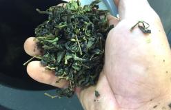 元祖国産燻製茶カネロク松本園3代目奮闘記 vol.9 新茶製造。まもなく二番茶。