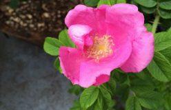 土橋みゆきのハレノヒケノヒ二十四節気vol.33「はまなすの咲くころ」