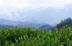 岐阜のお茶旅 vol.31(最終回)_総集編 美しい山々の茶畑に感謝を込めて